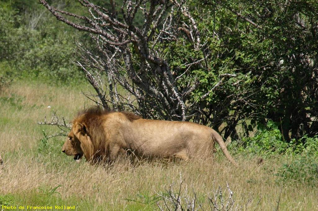 Lion - Krüger national park