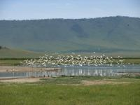 Envol de flamands - Ngorongoro Conservation Area