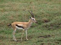 Antilope - Ngorongoro Conservation Area