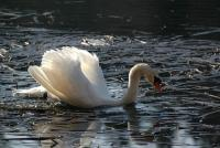 Cygne brisant la glace ! - Lac Saint-Point