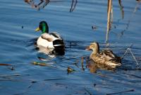 Couple de Canards en ballade ! - Lac Saint-Point
