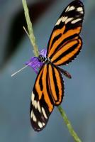 Heliconius ismenius - Grevenmacher,