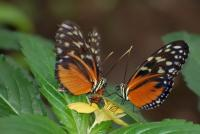 Duo d'Heliconius - Grevenmacher,