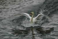 Amerrissage d'un cygne - Lac Saint-Point