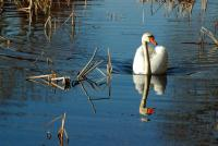 Cygne sur le lac - Lac Saint-Point