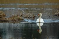 Cygne en promenade ! - Lac Saint Point