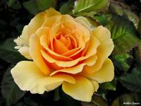 Roses celebres-Amber Queen - Le Cannet