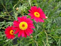 Anthemis rouge 2 - Le Cannet
