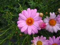 Anthemis rose 1 - Le Cannet