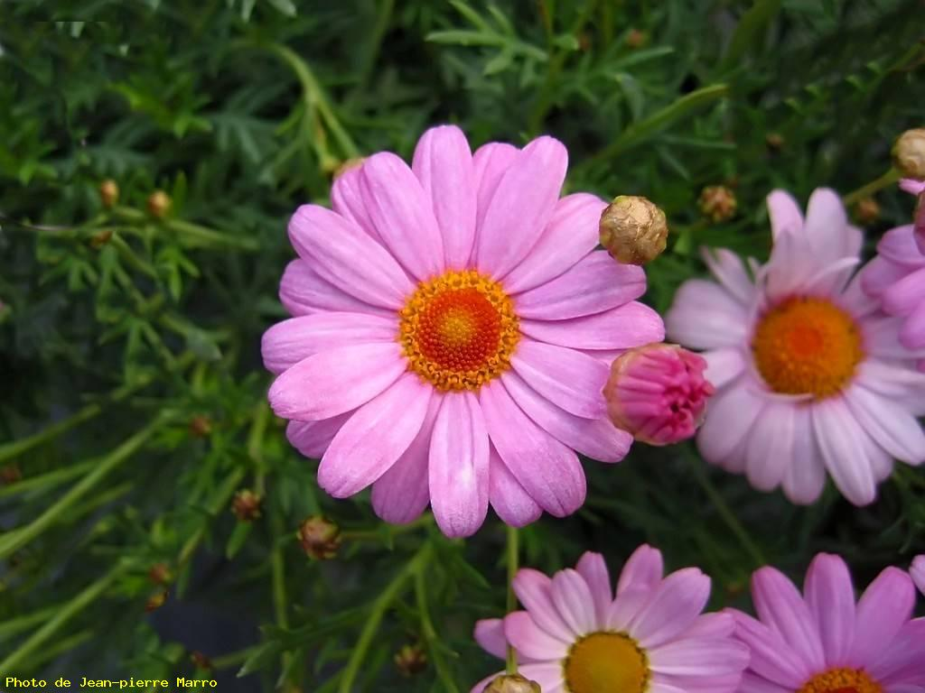 anthemis rose 1 - le cannet - photo grand format, ref 22566