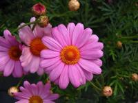 Anthemis rose 2 - Le Cannet