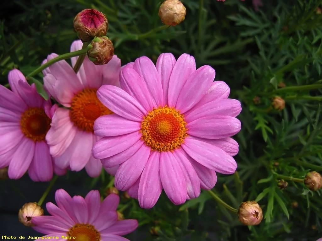 anthemis rose 2 - le cannet - photo grand format, ref 22567
