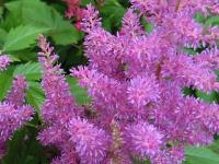 Astilbe 1 - Le Cannet