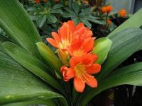 Clivia orange 1 - Le Cannet