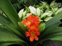 Clivia orange 2 - Le Cannet