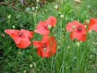 Coquelicot 3 - Le Cannet