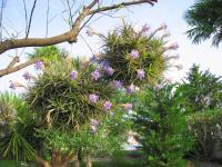 Fille de l'air (Tillandsia) (1) - Le Cannet