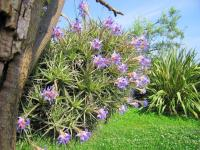 Fille de l'air (Tillandsia) (3) - Le Cannet