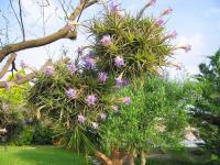 Fille de l'air (Tillandsia) (4) - Le Cannet