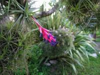 Fille de l'air (Tillandsia) (6) - Le Cannet