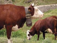 Quelle cloche !! (Vaches dans l'Authion Turini) - Moulinet