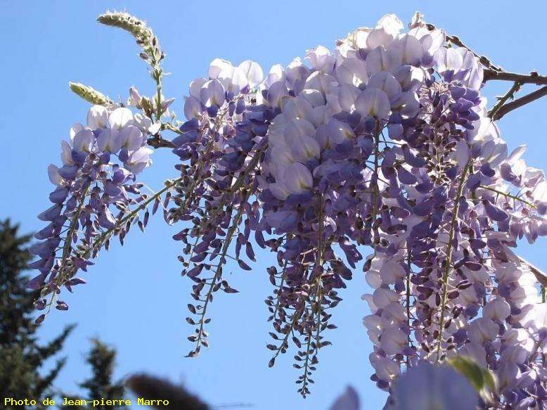 Glycine (2) - Le Cannet