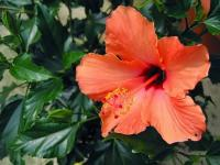 Hibiscus orange (1) - Le Cannet