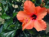 Hibiscus orange (2) - Le Cannet