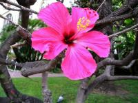 Hibiscus rose de Chine - Le Cannet