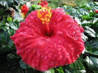 Hibiscus rouge (2) - Le Cannet