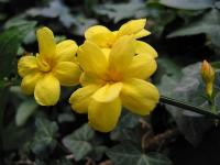 Jasminum nudiflorum (1) - Le Cannet