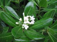 Pittosporum (1) - Le Cannet