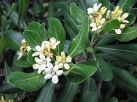 Pittosporum (2) - Le Cannet