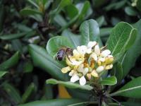 Pittosporum (3) - Le Cannet