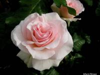 Rose (7) - Le Cannet