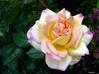 Rose (8) - Le Cannet