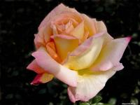 Rose (9) - Le Cannet