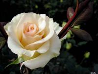Rose (10) - Le Cannet