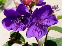 Tibouchina - Le Cannet