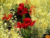Tulipes (rouge) (1) - Le Cannet