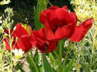 Tulipes (rouge) (2) - Le Cannet
