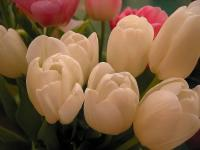 Tulipes blanches - Le Cannet