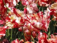 Tulipes perroquets (2) - Le Cannet