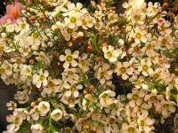 Waxflower (1) - Le Cannet