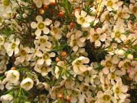 Waxflower (2) - Le Cannet