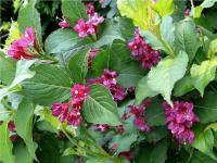 Weigelia - Le Cannet