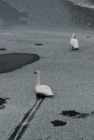 Le cygne patinneur ! - Lac Saint-Point