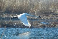 Cygne en plein vol - Lac Saint-Point