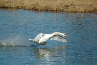 Le cygne canadair !! - Lac Saint-Point