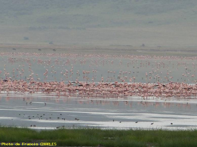 ZOOM : Flamands roses - Lac natron